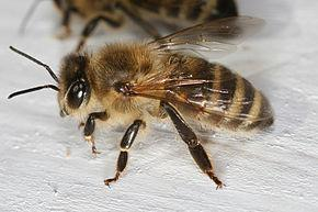 Abeilles europeenne ou apis mellifera pro guepes oise et val d oise ramassage essaim d abeilles