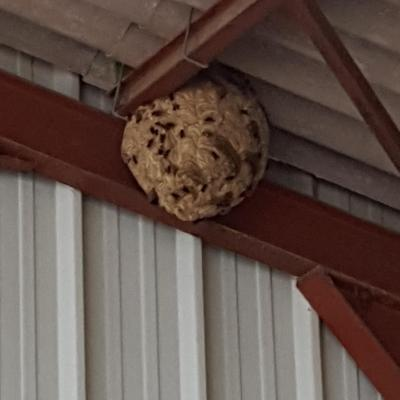 Destruction nid de frelons asiatique a saint just en chausse e 60130 pro gue pes
