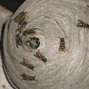Enlevement d'un nid de guepes a beauvais sous les combles