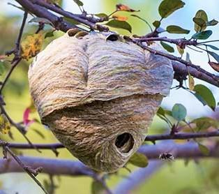 Enlevement d un nid de guepes a compiegnes 60200 dans un arbre