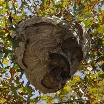 Enlevement d un nid de guepes a senlis 60300 dans l oise pro guepes