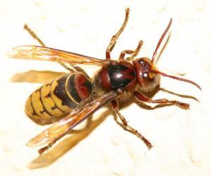 Frelons europeen ou vespa crabro Pro guêpes destruction nid de frelons européen dans l'oise 60 et val d'oise 95
