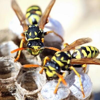 Traitement d un nid de guepes a compiegne 60200 dans l oise pro guepes