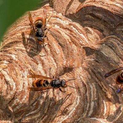 Traitement et destruction d un nid de frelons asiatiques a senlis 60300 dans l oise pro guepes