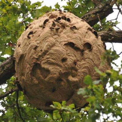 Traitement et enlevement d un nid de frelons asiatiques a compiegnes 60200 dans l oise pro guepes