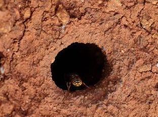 Traitement nid de gue pes en terre a saint just en chausse e pro gue pes
