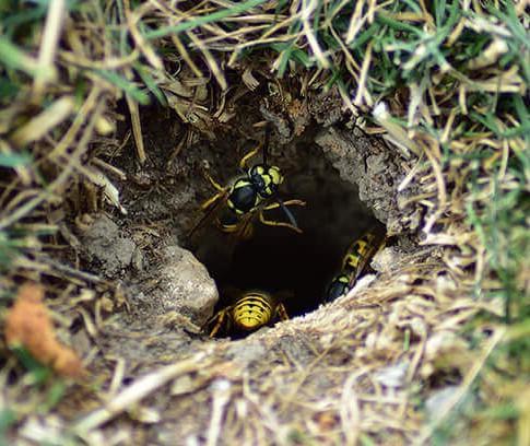 Traitement nid de guepes en terre a beauvais 60000
